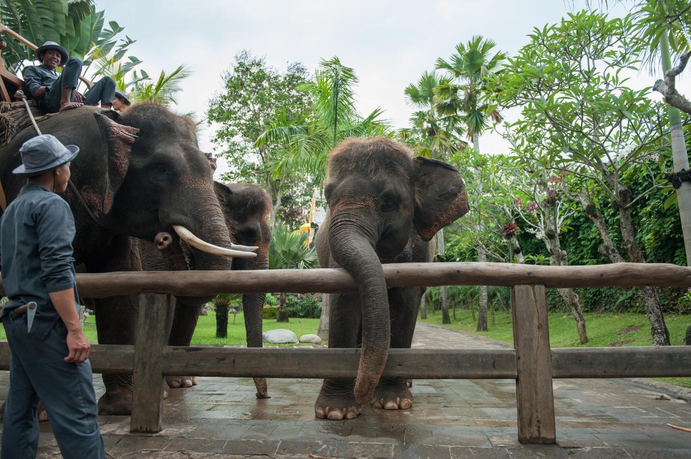 elephants-in-the-bali-zoo-singapadu-bali-2013